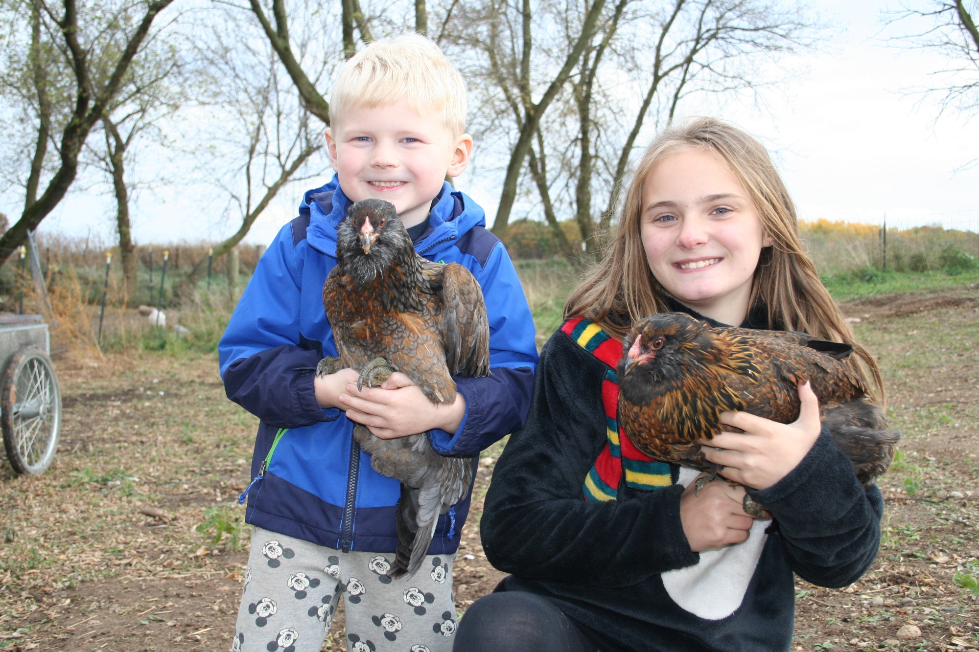 Ameraucana Easter egger chickens for sale