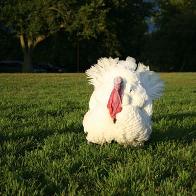 Fully grown Wisconsin white turkey for sale