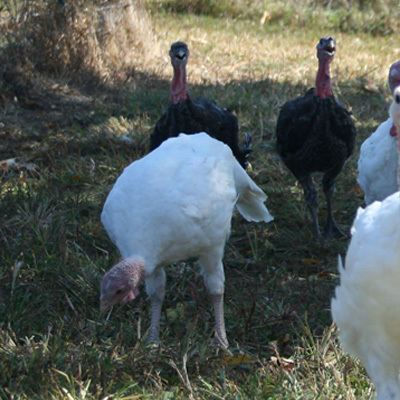 What free range natural turkeys eat